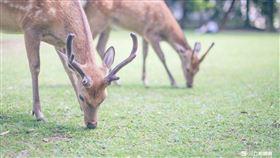 奈良,鹿,(記者林敬旻攝)