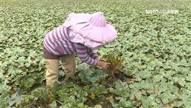 30年最慘!菱角產量銳減 農民:便當錢都不夠
