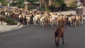 疫情亂象!美國山羊逛大街 網友驚呼:「我的老山羊啊!」