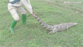 男子徒手抓鱷魚勇猛行徑曝光 驚險畫面嚇傻眾網!