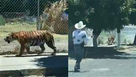 墨西哥日常?老虎大街閒晃 路人看傻 墨西哥,老虎,黑幫,寵物 翻攝自推特