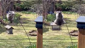 野生胖浣熊「神技」偷吃 遭屋主惡整 加拿大,浣熊,野生,餵鳥器,體操 翻攝自YouTube