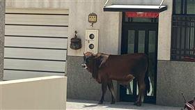 澎湖,牛,夏天,住宅,屋簷(圖/翻攝自爆怨公社)