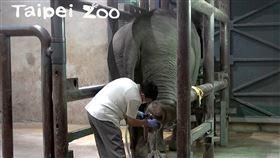 大象(台北市立動物園提供)