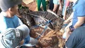 ▲印尼捕獲老鱷魚。(圖/翻攝自IG)