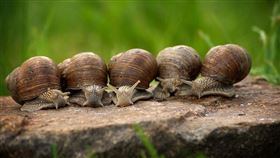 不是什麼都能生吃!醬油世家吃蝸牛感染寄生蟲 5死險滅門(圖/翻攝自Pixabay)
