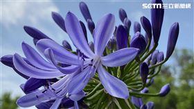 朝聖,內雙溪自然中心,愛情花,紫色花海 圖/翻攝台北市大地工程處官網
