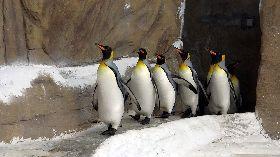 國王企鵝繁殖季即將到來 晨走特訓練體