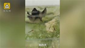 大陸,黑龍江,蝙蝠,魚缸,鳳尾魚,獵食(圖/翻攝自梨視頻)