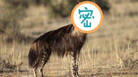 ▲鬣狗(圖/翻攝自百度百科)