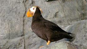 繁殖季的海鸚鵡。(圖/國立海洋生物博物館提供)