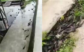 上千條魚同時「跳上岸」!網憂大地震前兆 官方回應了(圖/翻攝自微博)