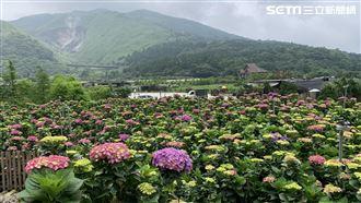 竹子湖繡球花爆發 地景設計華麗登場