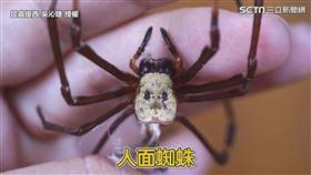 ▲昆蟲擾西吳沁婕介紹野外常見的「人面蜘蛛」。(圖/昆蟲擾西吳沁婕Dee the bugbuff 授權)