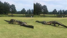 2巨鱷互咬2小時 高球員拍片獲瘋傳 美國,鱷魚,高爾夫球場,巨鱷,短吻鱷 翻攝自臉書專頁The Golf Club at Hilton Head Lakes