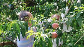 疫情影響五月桃銷量減 五峰鄉公所助促