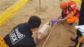 保育類中華白海豚陳屍金門岸際(1)海巡署金馬澎分署28日表示,第九岸巡隊人員在金寧鄉安岐岸際發現一隻死亡海豚屍體,研判疑似中華白海豚,有明顯外傷,死亡原因不明。(第九岸巡隊提供)中央社 109年5月28日