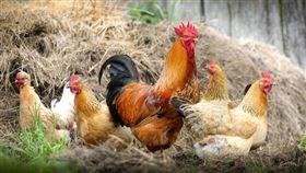 ▲雞肉等家禽肉食和特定癌症是否有關聯,近來引起討論。(示意圖/翻攝自pixabay)