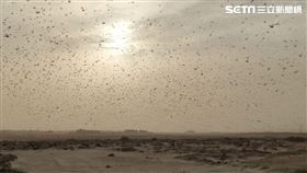獨/4千億蝗蟲大軍過境阿拉伯 台人嘆:災難原來這麼近
