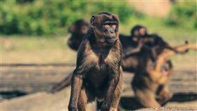 猴子(圖/Pixabay)