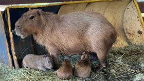 桃園埔心牧場水豚媽媽生3隻水豚小寶寶。(圖/埔心牧場提供)