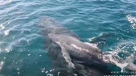 鯨魚母子遭5雄鯨強逼「多人運動」 海豚群搭救影片超震撼