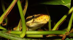 蟒蛇,python。(圖/Pixabay)