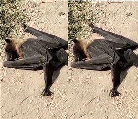 印度蝙蝠集體暴斃!從天墜下200多隻…居民超怕是武肺 圖/翻攝自@ShivAroor推特