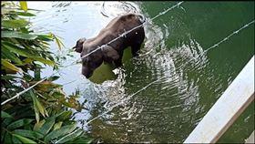 母象,印度,菠蘿,炸彈,誘捕,虐待動物
