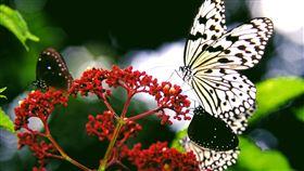 蝶戀社頂舞綠夏  墾管處辦賞蝶活動(2)為增進大眾對國家公園內蝶類生態的了解,墾丁國家公園管理處將於6月14日及7月5日舉辦「蝶戀社頂舞綠夏」活動,活動地點在社頂自然公園。圖為黑點大白斑蝶。(墾管處提供)中央社記者郭芷瑄傳真  109年6月4日