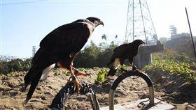 中華民國馴鷹協會,生物防治,老鷹,老鼠