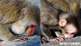 玉山獼猴親吻大地/印莉敏授權提供