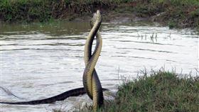 生態奇景!墾丁2大南蛇「空中交纏30min」畫面超唯美。(圖/楊政峰授權提供)