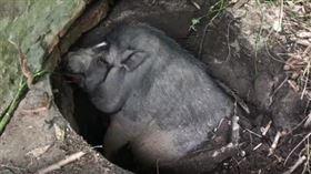 ▲寵物母豬掉進大坑內。(圖/翻攝自推特)
