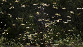 專家警告,蝗蟲大軍來勢洶洶,新一波沙漠蝗災恐席捲非洲、亞洲及中東部分地區。圖為2月1日肯亞護林員遭蝗蟲包圍。(圖/美聯社/達志影像)