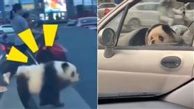 熊貓,四川,飼養,溜熊貓,馬路,開車