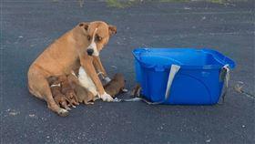 美國,阿拉巴馬州,母愛,狗,幼犬(圖/翻攝自Paw Angel Animal Rescue臉書)