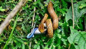 纏繞摔角!直擊茶斑蛇激戰藍尾四腳蛇(圖/翻攝畫面)