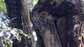 ▲融入在大自然保護色中的貓頭鷹。(圖/翻攝自IG)