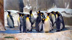 北市動物園分享國王企鵝趣聞(1)國王企鵝對於外在環境的變化感受度很高,同時能很快適應改變,這反而是保育員替國王企鵝進行動物訓練的一大助力。(台北市動物園提供)中央社記者梁珮綺傳真 109年6月15日