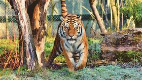 老虎,動物園。(圖/Pixabay)