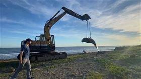 領航鯨擱淺苗栗海灘 傷勢重安樂處置(圖/翻攝畫面)