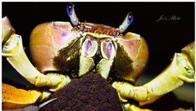 凶狠圓軸蟹。(圖/國立海洋生物博物館提供)