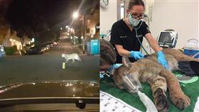 開車驚見「美洲獅」 巨貓「落網」了 美國,舊金山,山獅,美洲獅,動保局,野生動物 翻攝自推特