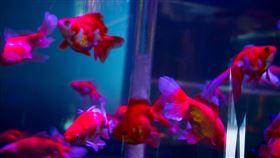 金魚(記者陳弋攝影)