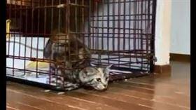 喵皇怪姿勢鑽出籠 網:貓果然是液體(圖/翻攝自推特)