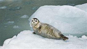 海豹,天氣,寒冷,冷豹 圖翻攝自pixabay