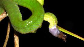 野生蛇相,青竹絲大便,珍貴畫面。(圖/何俊霖授權提供)