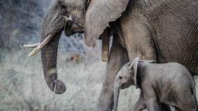 (圖/Pixabay)大象,母象,小象