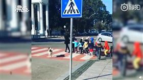 美國有流浪狗指揮交通(圖/翻攝自沸點視頻)